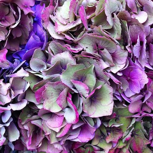 Hydrangeas-Flowerona