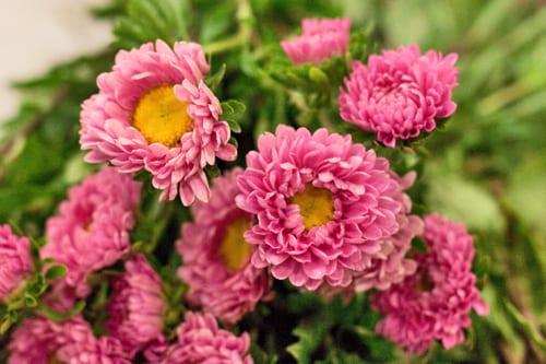 Pink-Asters-Flowerona