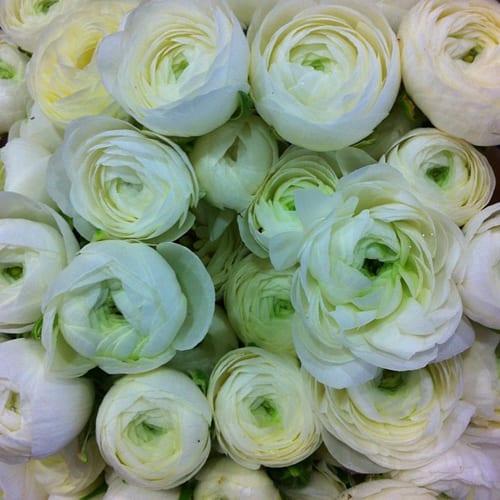 White-ranunculus-Flowerona