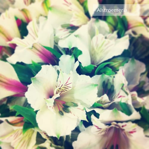 Flowerona Reflects: bouvardia & balls
