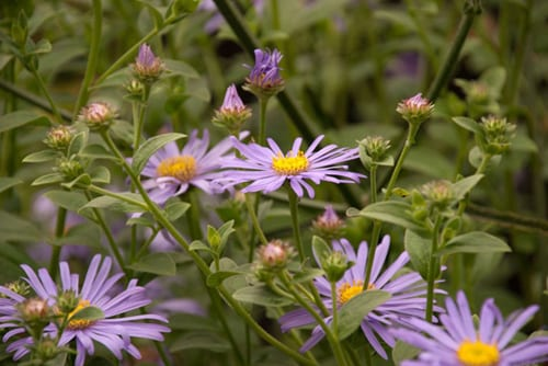 Aster-frikartii-Monch-Lisa-Cox-Garden-Designs
