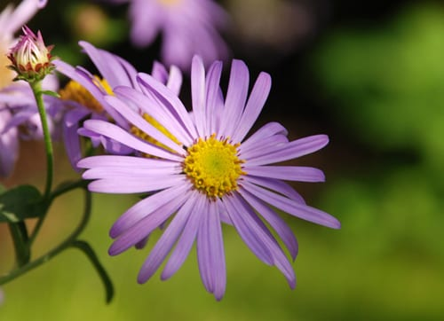 Aster-frikartii-Monch-flower-Lisa-Cox-Garden-Designs