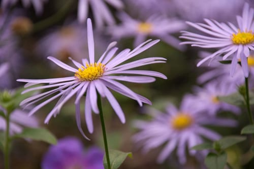 Aster-frikartii-Monch-in-October-Lisa-Cox-Garden-Designs