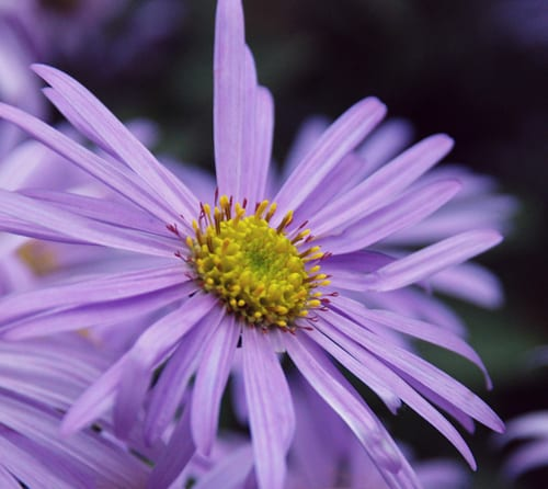 Garden Flowers: Aster 'Mӧnch'…the daisy that flowers for months