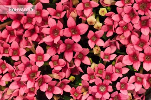 Bouvardia-Flowerona