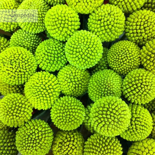 Craspedia-Billy-Balls-Flowerona