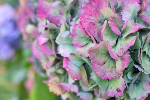 Hydrangeas-Cornwall-Holiday-Flowerona-8