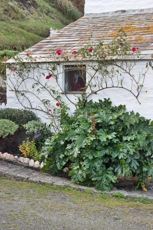 Roses-Cornwall-Holiday-Flowerona