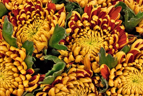 New-Covent-Garden-Flower-Market-Chrysanthemums-Flowerona-1