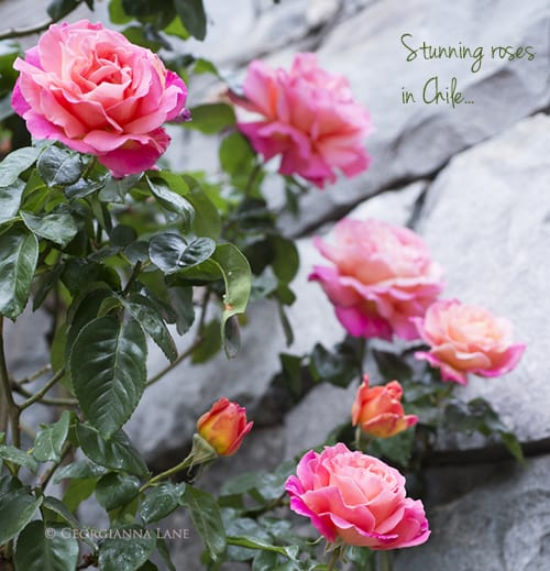 Chile-roses-on-wall-Georgiana-Lane-b
