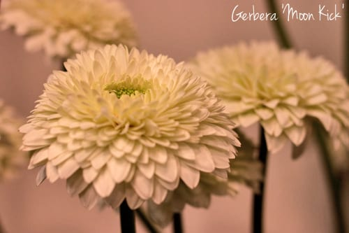 Gerbera-Moon-kick-Flowerona-1