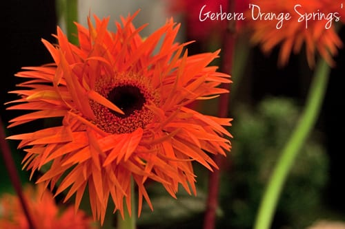 Four unusual varieties of Gerbera from Gerbera United…