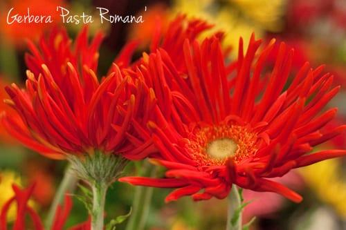 Gerbera-Pasta-Romana-Flowerona-1