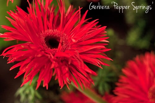 Gerbera-Pepper-Springs-Flowerona-1