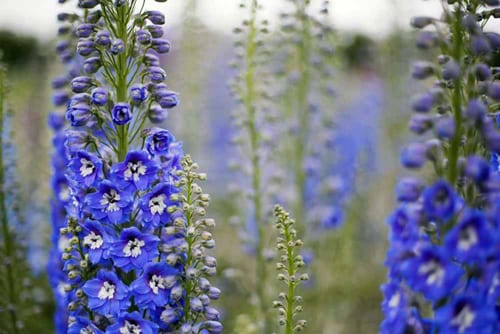 Green-and-Gorgeous-Delphinium-'New-Zealand-Hybrids'