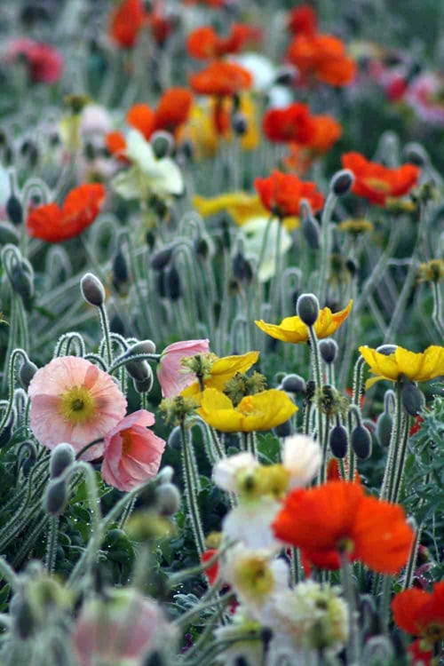 Green-and-Gorgeous-Early-morning-Icelndic-Poppies