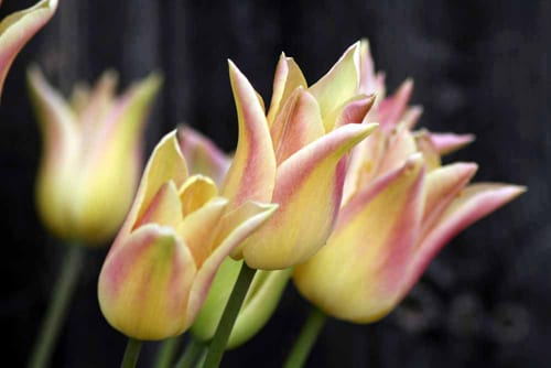 Green-and-Gorgeous-Tulip-'Elegant-Lady'