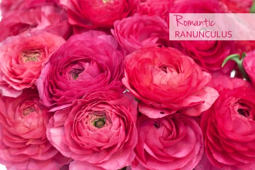 Ranunculus…with layers upon layers of delicate petals