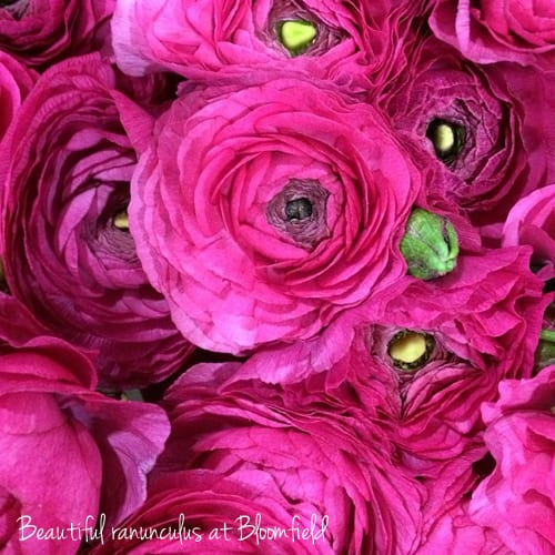 Cerise Pink Ranunculus Bloomfield New Covent Garden Flower