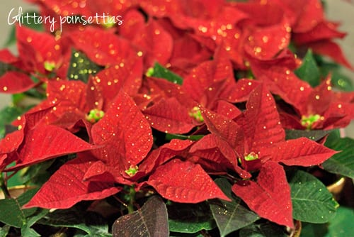 New-Covent-Garden-Flower-Market-Christmas-Plants-2013-Flowerona-1a