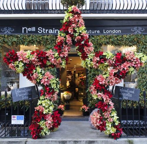 Poinsettia-Neill-Strain-2