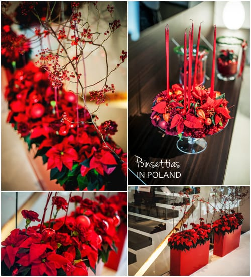 Poinsettias-in-Poland