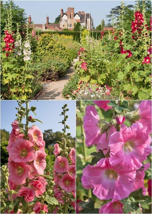 Hollyhocks-Loseley-Park-Flowerona