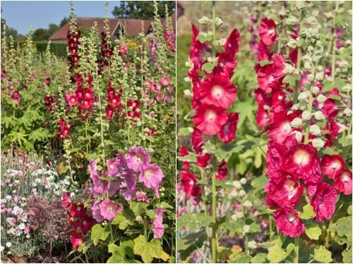 Hollyhocks-Loseley-Park-Flowerona