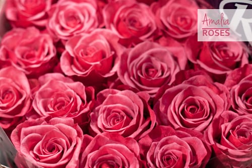 Seven beautiful roses in the pink colour palette for you to get to know…