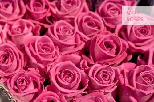 Aqua-Roses-Pink-Flowerona