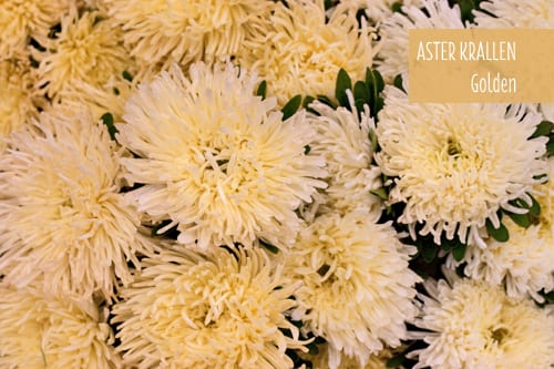 Aster Krallen…a new variety from the Aster family