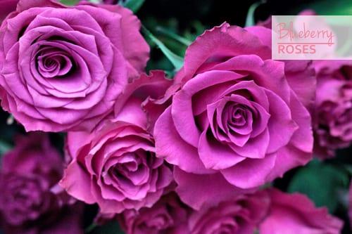 Blueberry-Roses-Pink-Flowerona