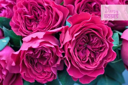 Darcy-Roses-Pink-Flowerona