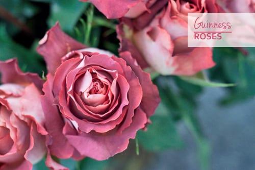 Guinness-Roses-Pink-Flowerona