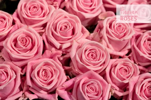 Seven Beautiful Roses In The Pink Colour Palette For You