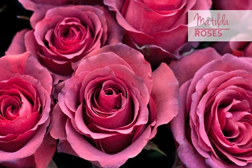 Matilda-Roses-Pink-Flowerona
