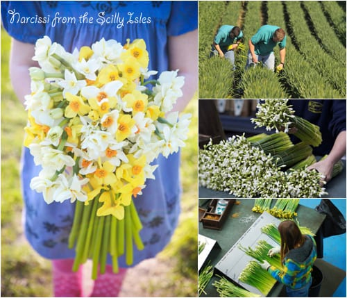 Narcissi-Scilly-Flowers-Flowerona