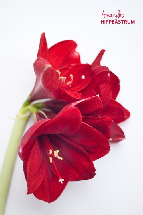 Red-Amaryllis-Hippeastrum-Flowerona