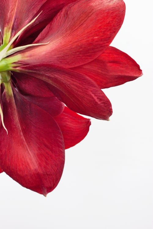Capturing the beauty of the amaryllis…