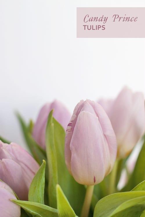 Candy-Prince-Tulips-Flowerona