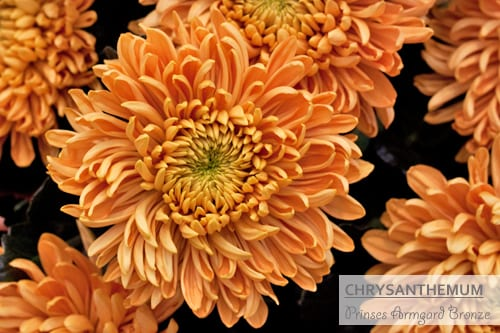 Eight wonderful chrysanthemum varieties for you to get to know…