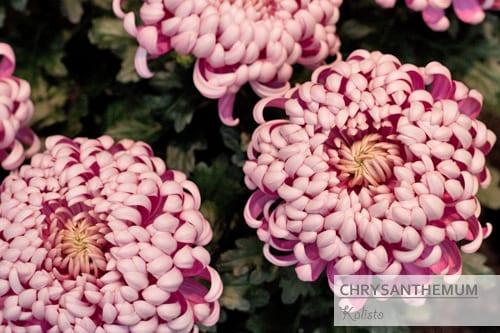 Chrysanthemums-Flowerona-Kalisto