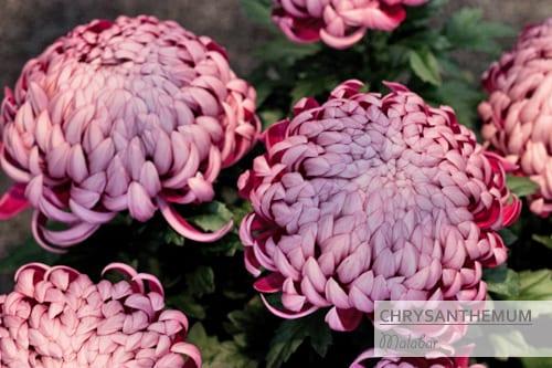 Chrysanthemums-Flowerona-Malabar