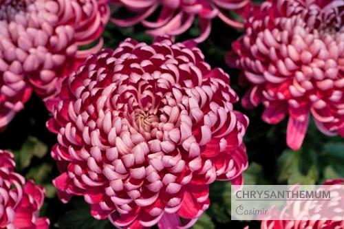 Chrysanthemums-Flowerona-Casimir
