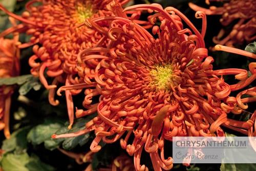 Chrysanthemums-Flowerona-Cobra Bronze