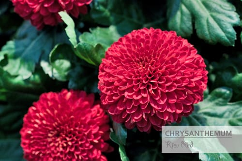Chrysanthemums-Flowerona-Kiev Red