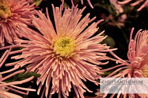 Chrysanthemums-Flowerona-Elbrus Pink