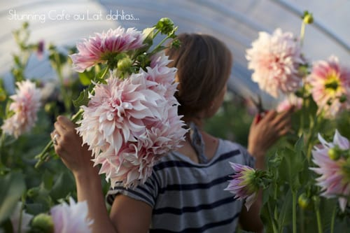 Floret-Flower-Farm-Cafe-au-Lait-Dahlias