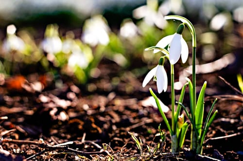 All you need to know about the humble Snowdrop…