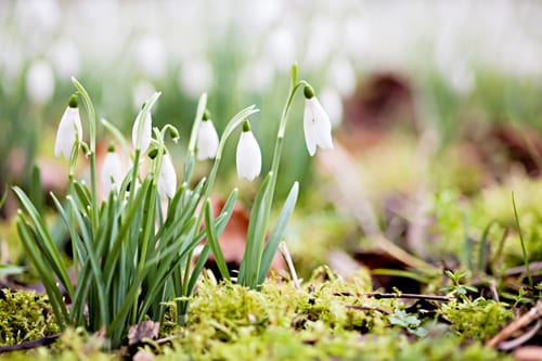 Katie-Spicer-Photography-Snowdrops